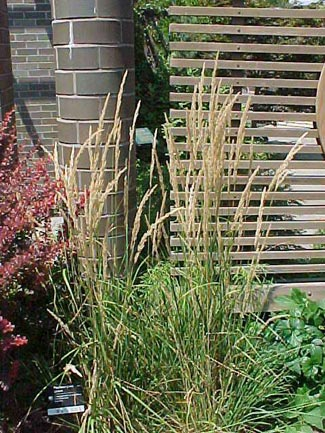 Common Ornamental Grasses Wengerlawn nursery co products grasses common name feather reed grass zone 5 to 9 plant type ornamental grass height 3 to 5 feet spread 15 to 25 feet bloom time may february workwithnaturefo