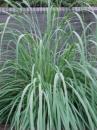 Wengerlawn nursery co products grasses for Long ornamental grass