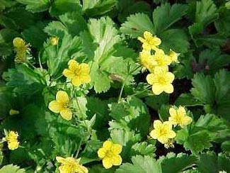 Wengerlawn nursery co products ground covers plant type ground cover height 025 to 05 feet spread 05 to 1 foot bloom time april june bloom color yellow sun full sun to part shade mightylinksfo